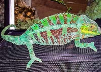 Panther-Chameleon-2