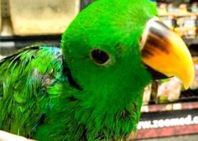 baby-eclectus-parrot