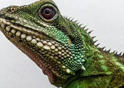 chinese-water-dragon