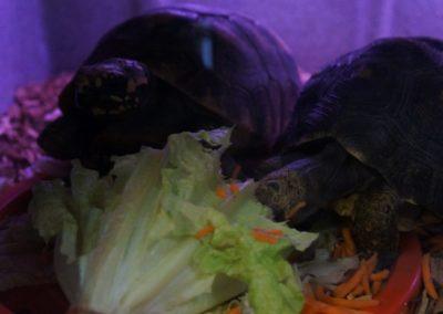 couple-tortoise