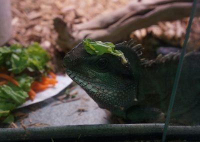 funny-iguana