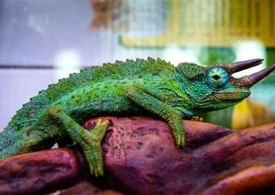 male-jackson-chameleon-2