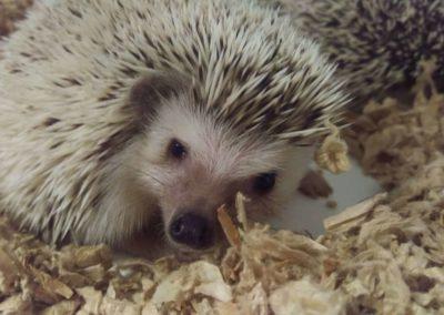 marksarkutah-hedgehog