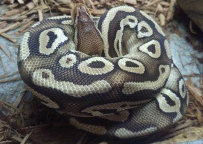 pastave-ball-python