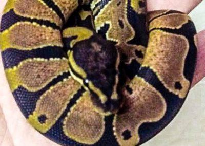 snake-173
