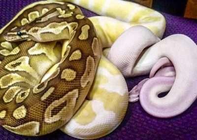 snake-176
