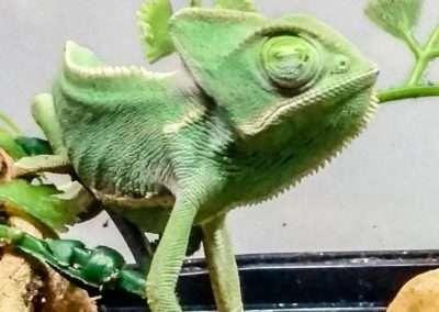 veiledchameleon-1-2