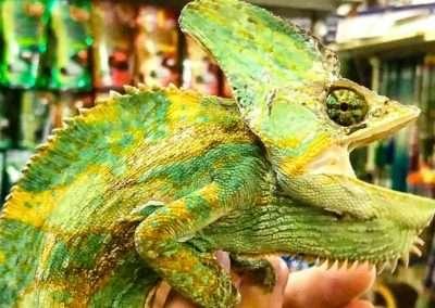veiledchameleon-2