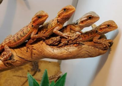 Pile of Bearded Dragons